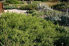 Baccharis pilularis 'Pigeon Point' dwarf coyote bush