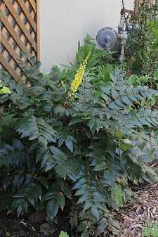 Berberis (Mahonia) nervosa  longleaf mahonia