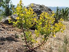 Arctostaphylos manzanita 'Bates' Yellow' common manzanita