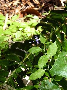 Campanula prenanthoides  California harebell
