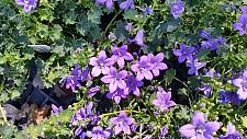Campanula muralis  (C. portenschlagiana) Dalmatian bellflower