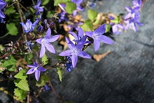 Campanula poscharskyana 'Blue Waterfall' Serbian bellflower