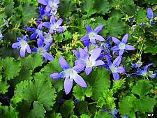 Campanula garganica 'W. H. Payne' Adriatic bellflower