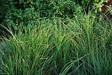Carex barbarae  basket sedge