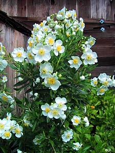 Carpenteria californica 'Elizabeth' California bush anemone