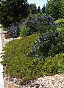 Ceanothus thyrsiflorus 'Skylark' California lilac