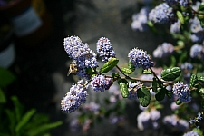 Ceanothus  'Celestial Blue' California lilac