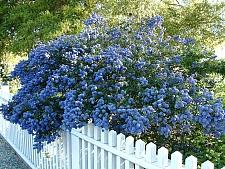 Ceanothus  'Concha' California lilac