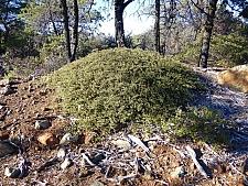 Ceanothus confusus  Rincon Ridge ceanothus
