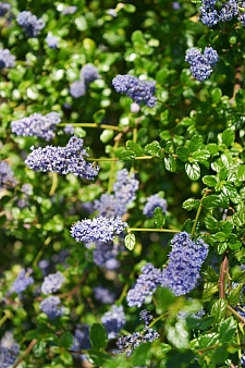 Ceanothus  'Frosty Blue' California lilac