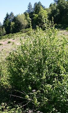 Crataegus douglasii  western hawthorn