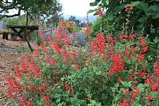 Salvia darcyi  Galeana sage