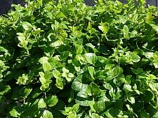Satureja (Clinopodium) douglasii  yerba buena
