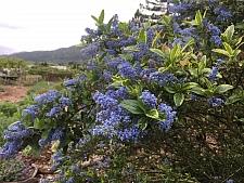 Ceanothus thyrsiflorus 'El Dorado' variegated blue blossom