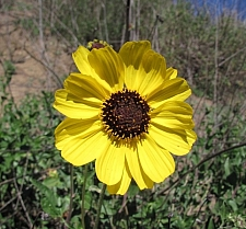 Encelia californica  bush sunflower