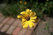 Encelia californica 'El Dorado' bush sunflower