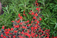 Epilobium septentrionale 'Select Mattole' California fuchsia