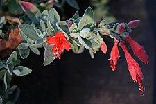 Epilobium canum 'Calistoga' California fuchsia