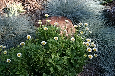 Erigeron glaucus 'White Lights' white seaside daisy