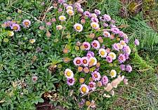 Erigeron glaucus  seaside daisy