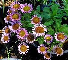 Erigeron glaucus 'Ron's Pink' pink seaside daisy