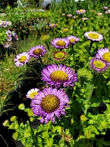 Erigeron glaucus 'Wayne Roderick' seaside daisy