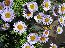 Erigeron  'W.R.' seaside daisy
