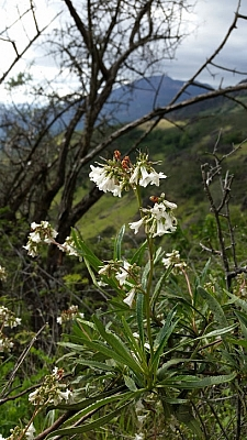 Eriodictyon californicum  yerba santa