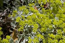 Eriogonum crocatum  saffron buckwheat