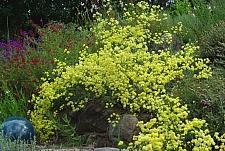 Eriogonum nudum 'Ella Nelson's Yellow' naked buckwheat