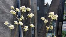 Eriogonum fasciculatum  California buckwheat