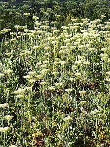 Eriogonum heracleoides  Wyeth buckwheat