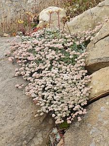 Eriogonum latifolium  coastal bluff buckwheat