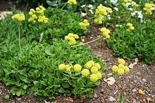 Eriogonum umbellatum var. aureum 'Kannah Creek' golden sulphur flower buckwheat