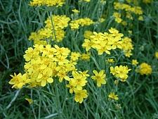 Eriophyllum confertiflorum  golden yarrow