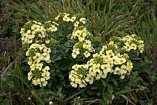 Erysimum concinnum  Point Reyes wallflower