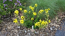 Erysimum menziesii var. yadonii  Yadon's wallflower