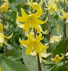 Erythronium  'Pagoda' fawn lily