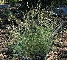 Festuca idahoensis 'Tomales Bay' Idaho fescue