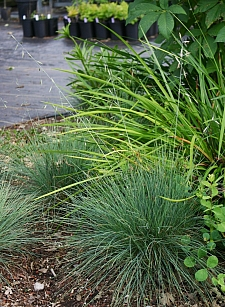 Festuca idahoensis 'Stony Creek' Idaho fescue
