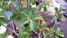 Rhamnus (Frangula) californica ssp. occidentalis  Western California coffeeberry