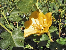 Fremontodendron  'California Glory' flannel bush