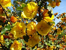 Fremontodendron  'Pacific Sunset' flannel bush