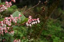 Gaultheria  shallon  salal