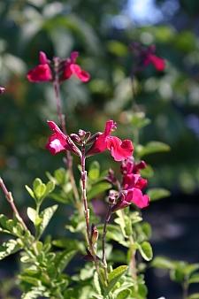 Salvia microphylla 'Heatwave Blaze' sage