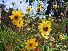 Helianthus hirsutus  hairy sunflower