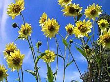 Helianthus giganteus 'Sheila's Sunshine' sunflower