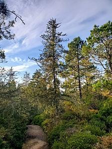 Hesperocyparis pygmaea  pygmy cypress