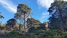Hesperocyparis sargentii  Sargent cypress