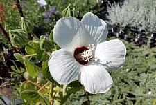Hibiscus lasiocarpus var. occidentalis (californicus)  woolly rose mallow